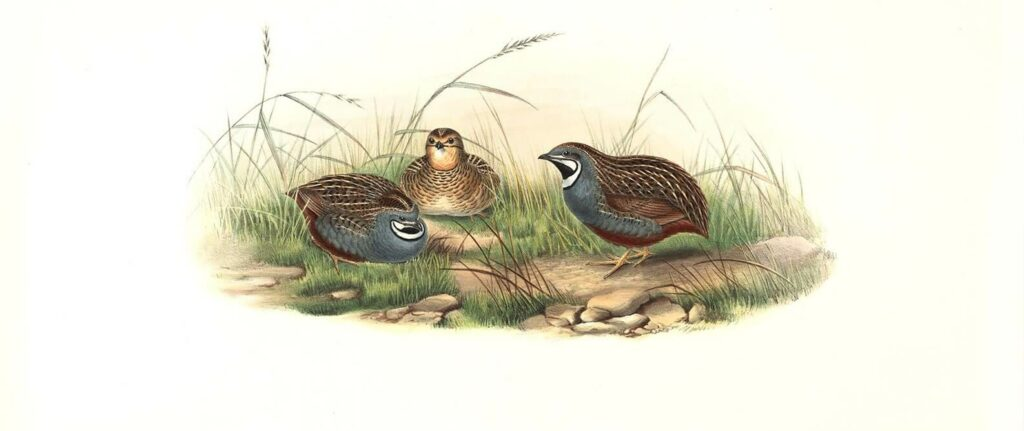 John Gould - Birds of Asia Volume 7 - Complete set Museum quality giclee prints
