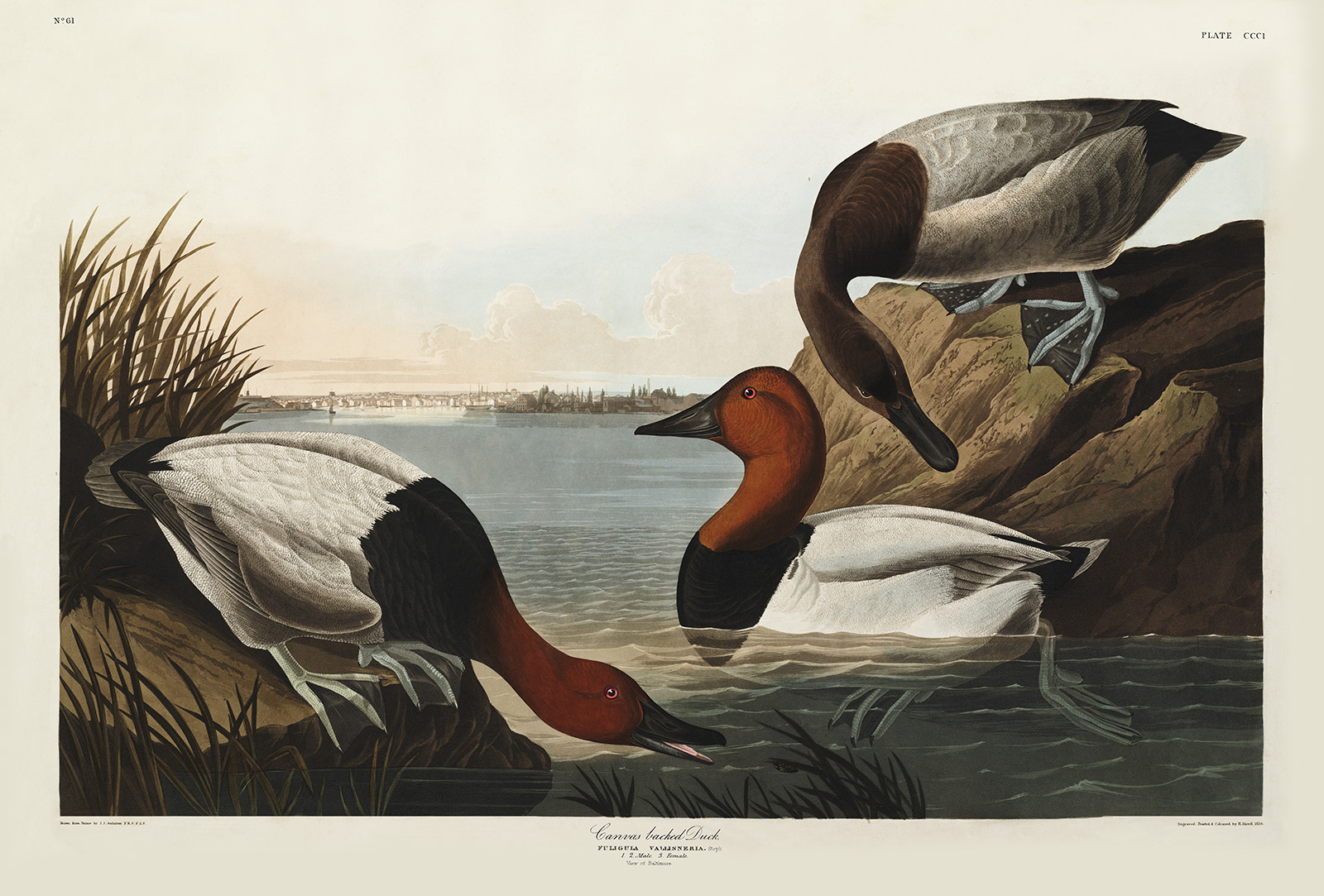 Heritage Prints Complete Sets Audubon The Birds of America Backed Duck