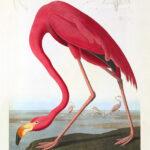 John James Audubon Birds of America Plate 432 American Flamingo Giclée Print