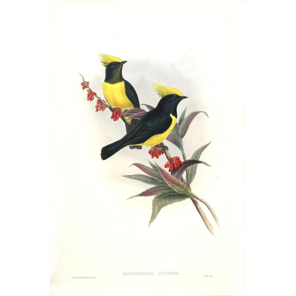 Gould Birds of Asia Vol 2 Plate 051 Giclee Prints