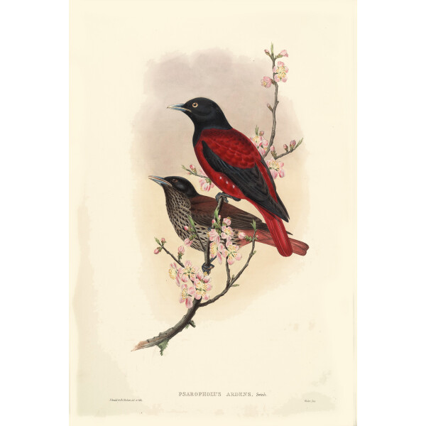 Gould Birds Red Oriole Vol 2 Plate 075 Giclee Prints
