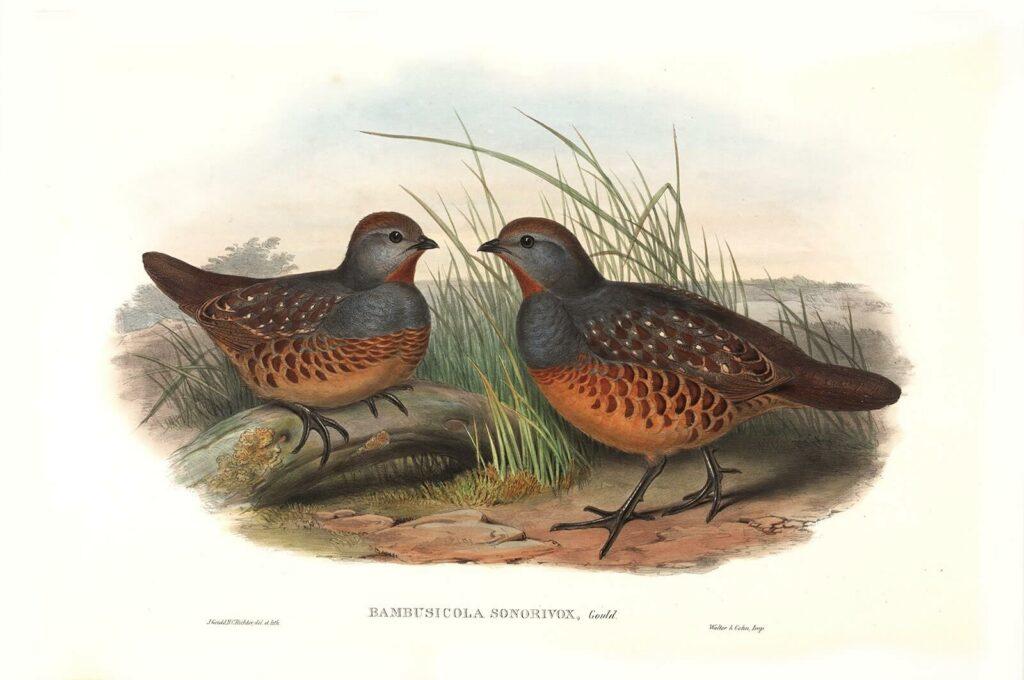 Gould - Birds of Asia Volume 6 - Formosan Bamboo-Partridge