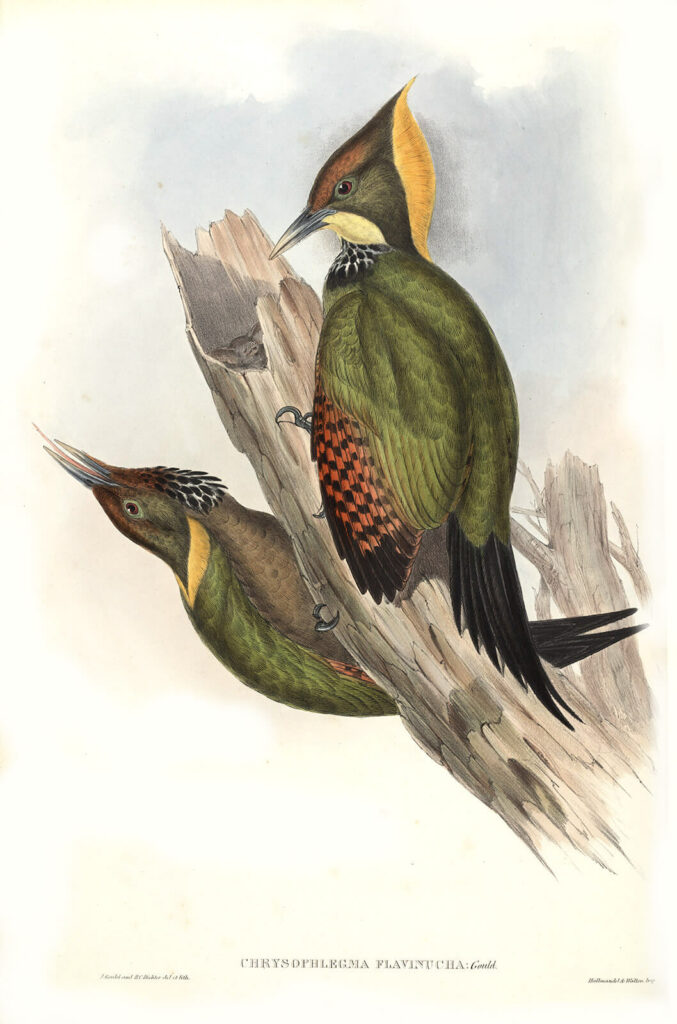 Gould - Asia 6 - Yellow-naped Woodpecker