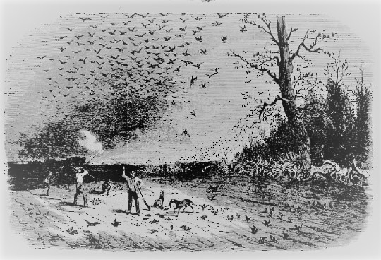 Old magazine illustration of hunters shooting Passenger Pigeons. (From copy in Schorger, 1955.)