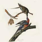 Why did the Passenger Pigeon become extinct Audubon