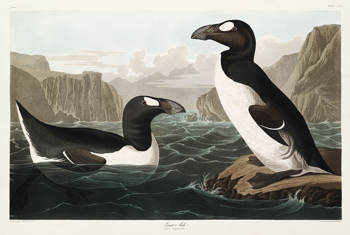 John James Audubon Birds of America Plate 341 Great Auk Giclée Print