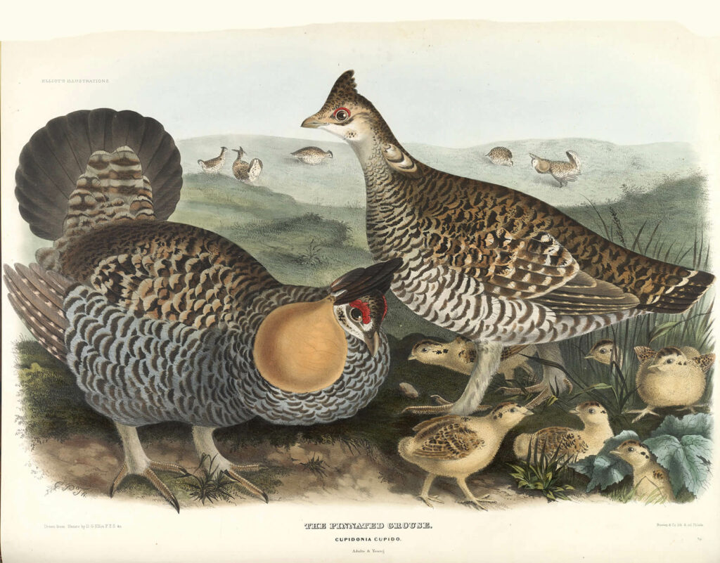 Elliot Family of the Grouse - Pinnated Grouse, Adults and Young