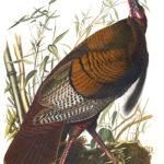 Audubon 001 Wild Turkey Birds of America Museum quality giclée print