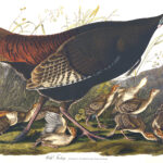 Audubon 006 Wild Turkey Female and Young Birds of America Museum quality giclée print