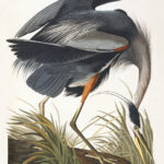 Audubon 211 Great Blue Heron Birds of America Museum quality giclée print