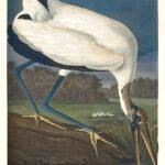 Audubon 216 Wood Ibis Birds of America Museum quality giclée print