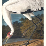 Audubon 226 Whooping Crane Birds of America Museum quality giclée print