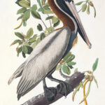 Audubon 251 Brown Pelian Birds of America Museum quality giclée print