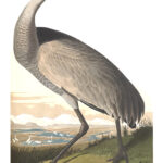 Audubon 261 Whooping Crane Birds of America Museum quality giclée print