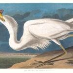 Audubon 281 Great White Heron Birds of America Museum quality giclée print