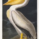 Audubon 311 American White Pelican Birds of America Museum quality giclée print