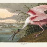 Audubon 321 Roseate Spoonbill Birds of America Museum quality giclée print