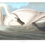 Audubon 406 Trumpeter Swan Birds of America Museum quality giclée print