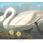 Audubon 411 Common American Swan Birds of America Museum quality giclée print