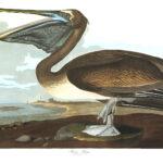 Audubon 421 Brown Pelican Birds of America Museum quality giclée print