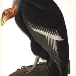 Audubon 426 Californian Vulture Birds of America Museum quality giclée print
