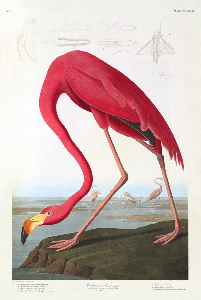 Audubon 431 American Flamingo Birds of America Museum quality giclée print