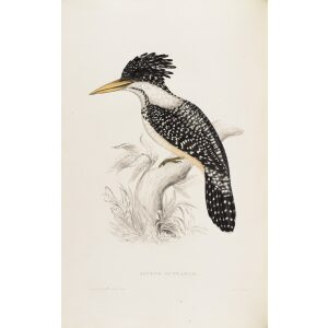 John Gould Alcedo Guttatus 05 A Century of Birds from the Himalaya Mountains Museum quality giclee prints