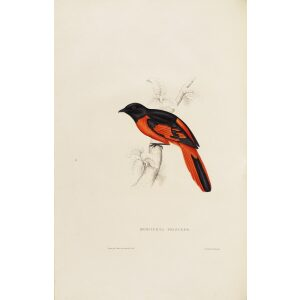 John Gould Phaenecornis Princeps 07 A Century of Birds from the Himalaya Mountains Museum quality giclee prints
