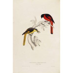 John Gould 008 Phaenicornis Brevirostris A Century of Birds from the Himalaya Mountains.Museum quality giclée print