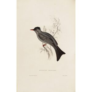 Hypsipetes Psariodes 010 John Gould A Century of Birds from the Himalaya Mountains.Museum quality giclée print