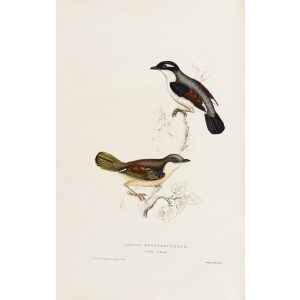 Lanius Erythropterus 11 John Gould A Century of Birds from the Himalaya Mountains.Museum quality giclée print