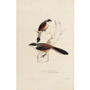 Collurio Hardwickii Erythronotus 12 John Gould A Century of Birds from the Himalaya Mountains.Museum quality giclée print