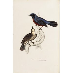 Turdus Erythrogaster 13 John Gould A Century of Birds from the Himalaya Mountains.Museum quality giclée print