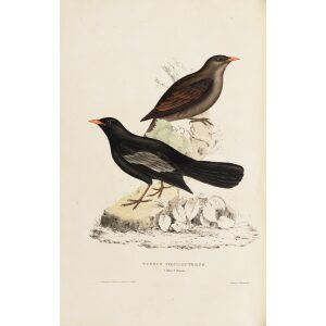 Turdus Poecilopterus 14 John Gould A Century of Birds from the Himalaya Mountains.Museum quality giclée print