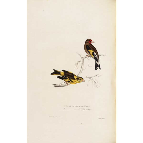 Carduelis Caniceps 33 John Gould A Century of Birds from the Himalaya Mountains. Museum quality giclée print