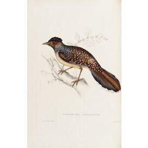 Cinclosoma Ocellatum 15 John Gould A Century of Birds from the Himalaya Mountains.Museum quality giclée print