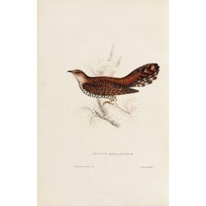 Cuculus Himalayanus 54 John Gould A Century of Birds from the Himalaya Mountains. Museum quality giclée print