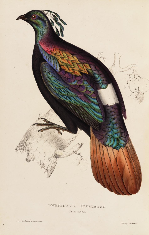 Lophophorus Imeyanus 60 John Gould A Century of Birds from the Himalaya Mountains. Museum quality giclée print