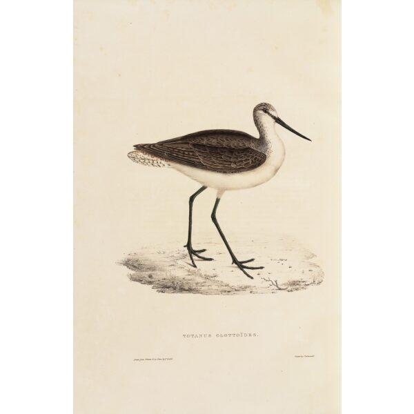 Totanus Glotoides 76 John Gould A Century of Birds from the Himalaya Mountains. Museum quality giclée print