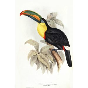 Sharp billed Toucan John Gould A Monograph of Ramphastidae or Family of Toucans Plate 008 Museum quality giclee print