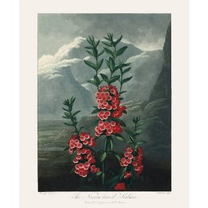 Narrow Leaved Kalmia by Robert Thornton – Temple of Flora, or Garden of Nature – Museum Quality Giclee Print – Heritage Prints Facsimile
