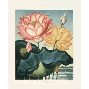 The Sacred Egyptian Bean by Robert Thornton – Temple of Flora, or Garden of Nature – Museum Quality Giclee Print – Heritage Prints Facsimile