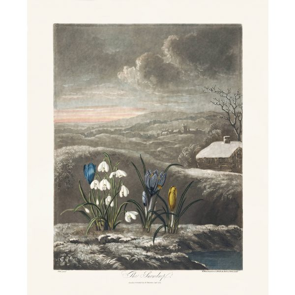The Snowdrop by Robert Thornton – Temple of Flora, or Garden of Nature – Museum Quality Giclee Print – Heritage Prints Facsimile