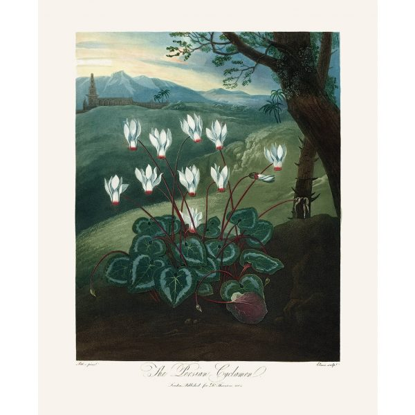 The Persian Cyclamen by Robert Thornton – Temple of Flora, or Garden of Nature – Museum Quality Giclee Print – Heritage Prints Facsimile