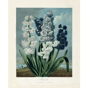 Hyacinth by Robert Thornton – Temple of Flora, or Garden of Nature – Museum Quality Giclee Print – Heritage Prints Facsimile