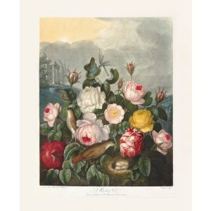Roses by Robert Thornton – Temple of Flora, or Garden of Nature – Museum Quality Giclee Print – Heritage Prints Facsimile