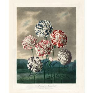A Group of Carnations by Robert Thornton – Temple of Flora, or Garden of Nature – Museum Quality Giclee Print – Heritage Prints Facsimile