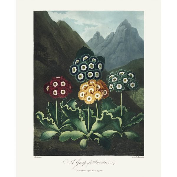 A Group of Auriculas by Robert Thornton – Temple of Flora, or Garden of Nature – Museum Quality Giclee Print – Heritage Prints Facsimile