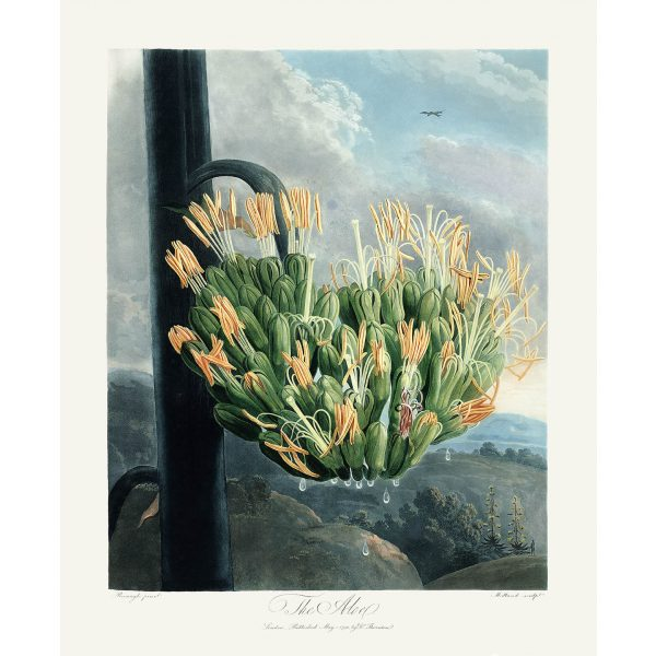 The American Aloe by Robert Thornton – Temple of Flora, or Garden of Nature – Museum Quality Giclee Print – Heritage Prints Facsimile