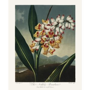 The Nodding Renealmia by Robert Thornton – Temple of Flora, or Garden of Nature – Museum Quality Giclee Print – Heritage Prints Facsimile